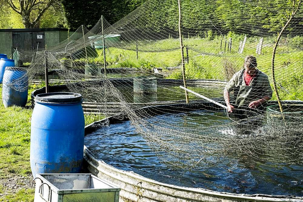 High angle view of man wearing waders working at a water tank at a fish farm raising trout, holding fish net