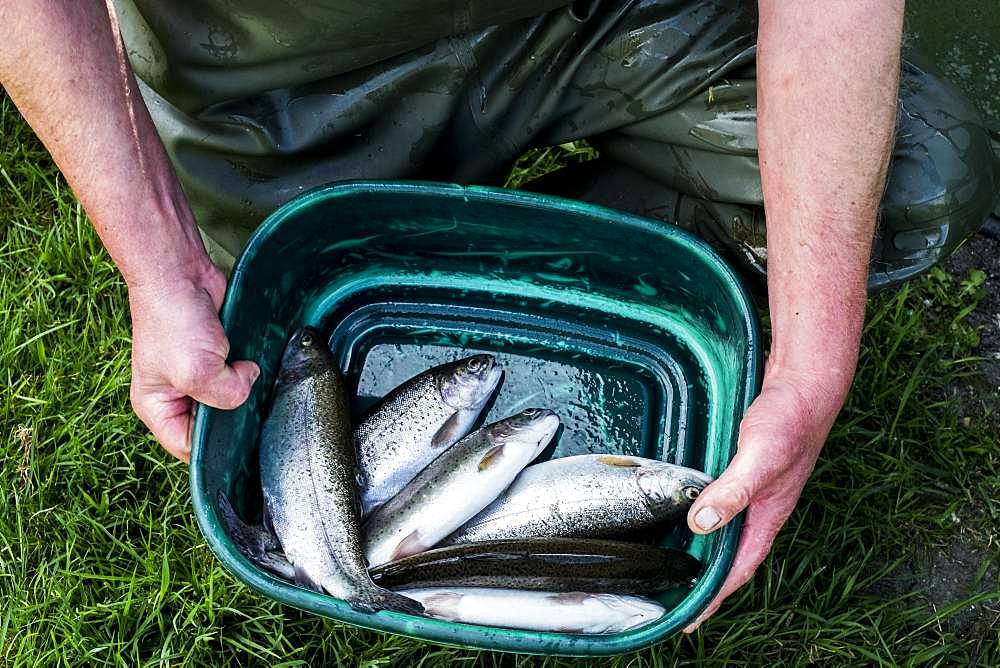 High angle close up of person holding green bucket with freshly caught trout at a fish farm raising trout