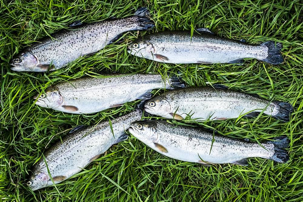 High angle close up of freshly caught trout lying in the grass at a Trout Farm