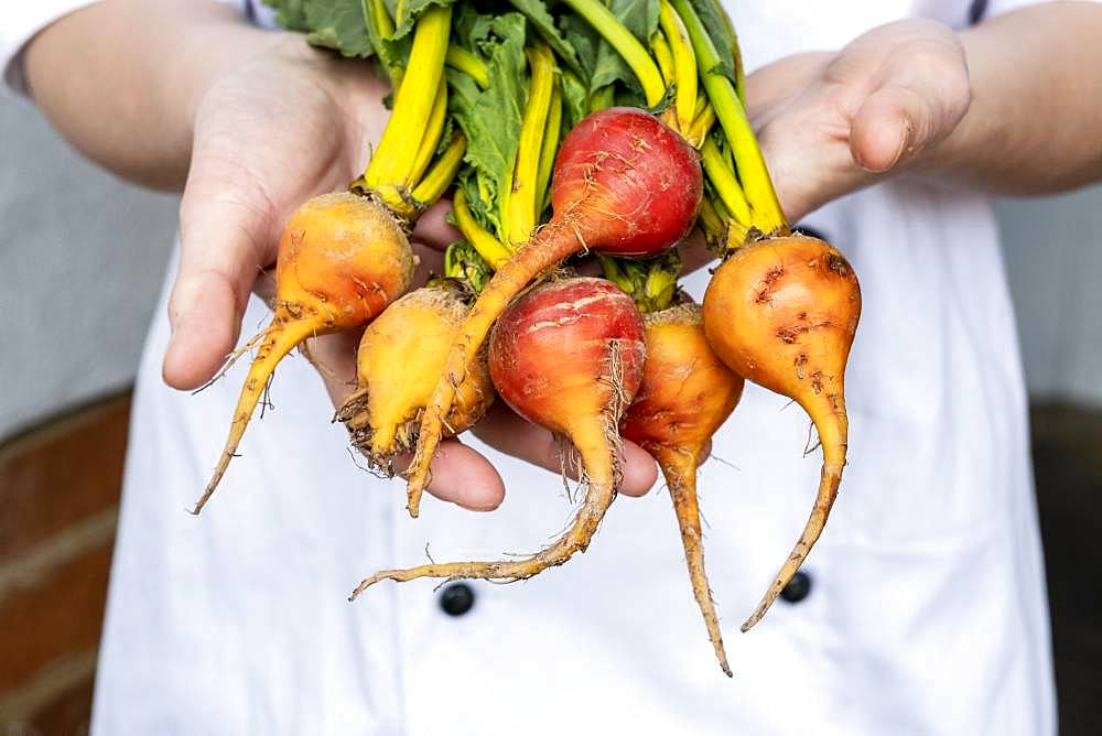 Close up of chef holding a bunch of colourful beets