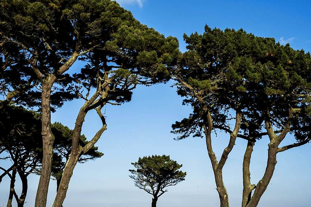 Canopies of Monterey Pine Trees against a clear blue sky
