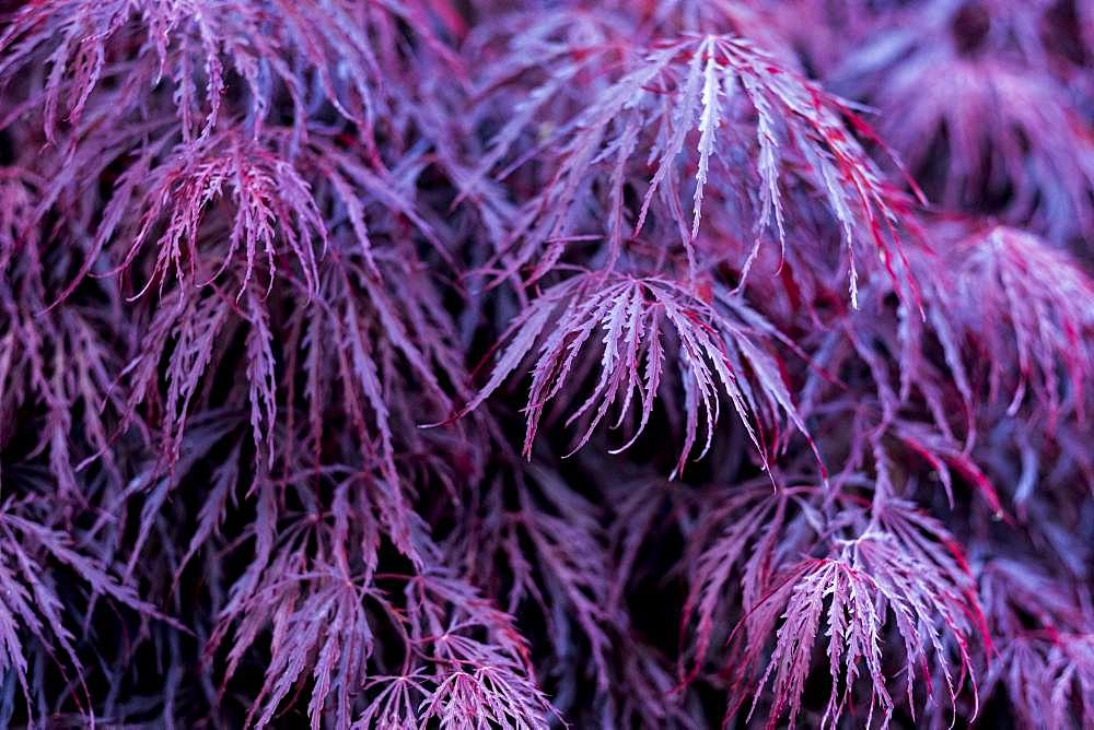 Close up of vibrant purple foliage of a Laceleaf Japanese Maple