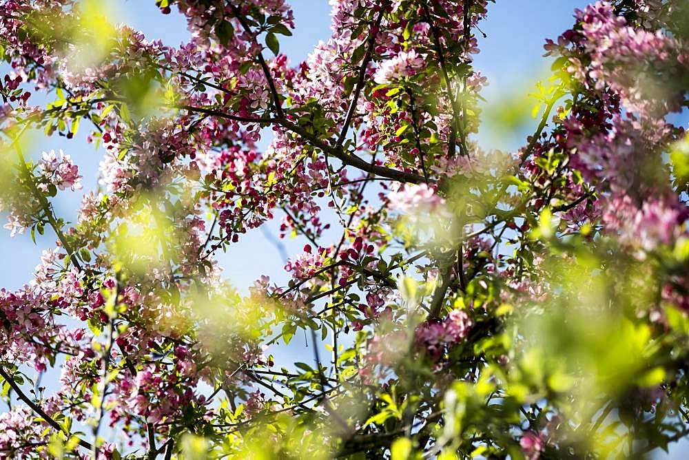 Close up of fruit tree branches with an abundance of pink and white blossoms
