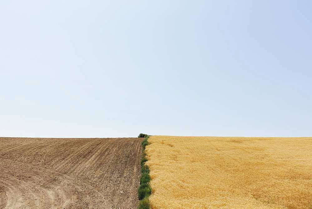 Summer wheat field divided by weeds and harvest half, Whitman County, Palouse, Washington