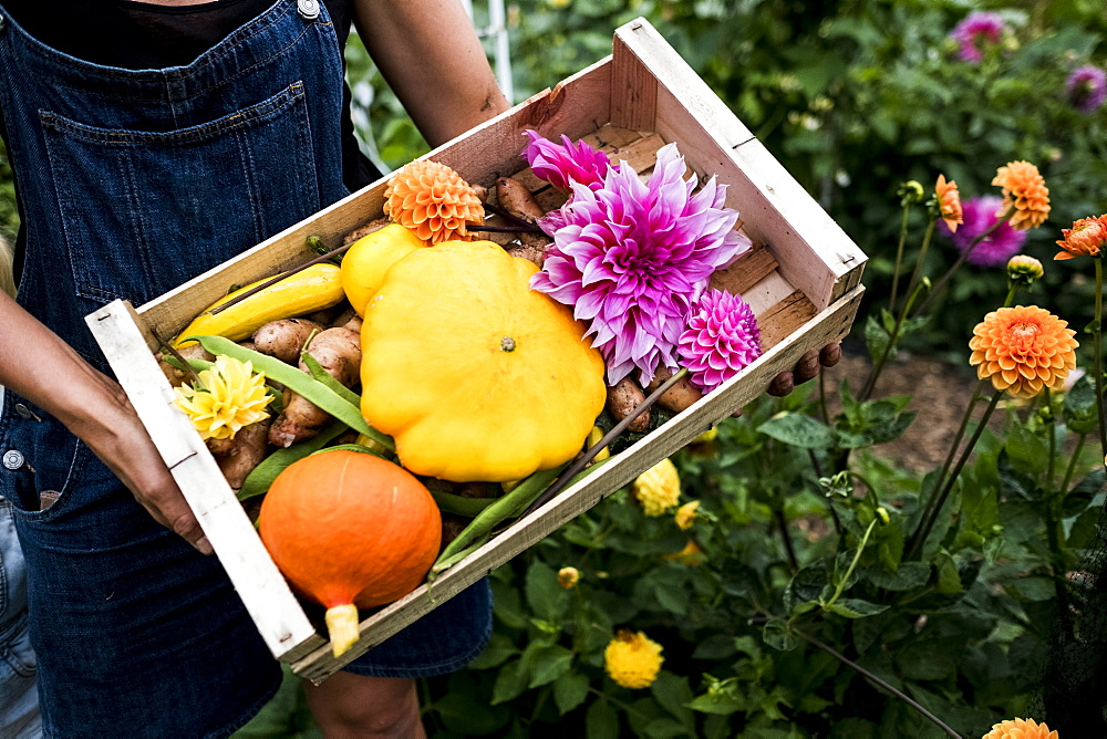 High angle close up of person holding wooden box with fresh vegetables and cut pink Dahlias - 1174-7145