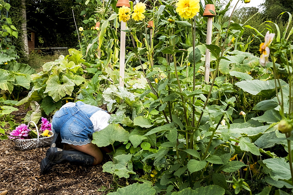 Girl kneeling in a garden, picking fresh vegetables