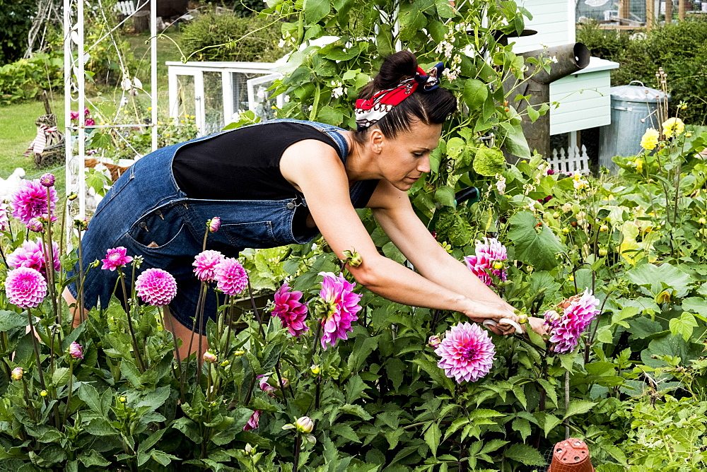 Woman standing in a garden, picking pink Dahlias