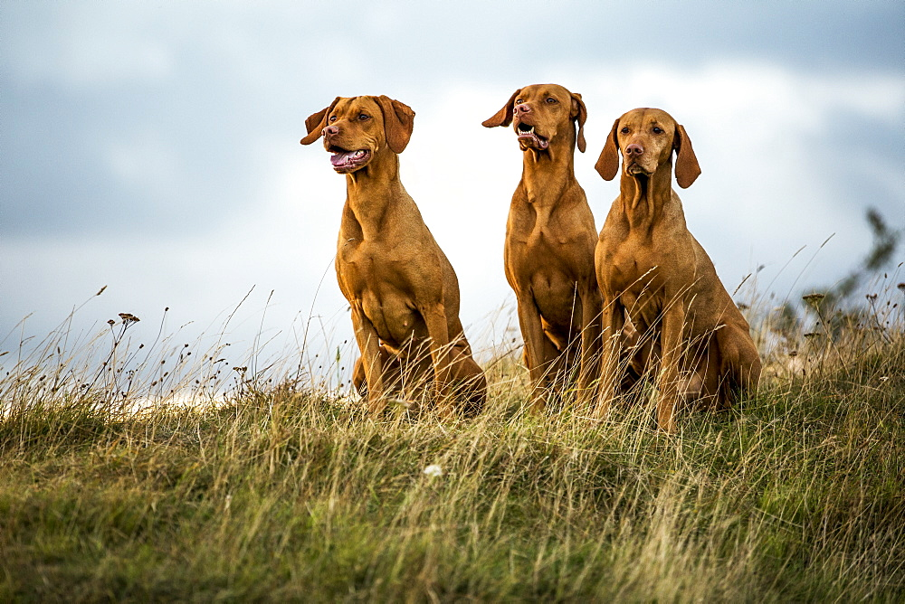 Portrait of three Vizla dogs sitting on a meadow