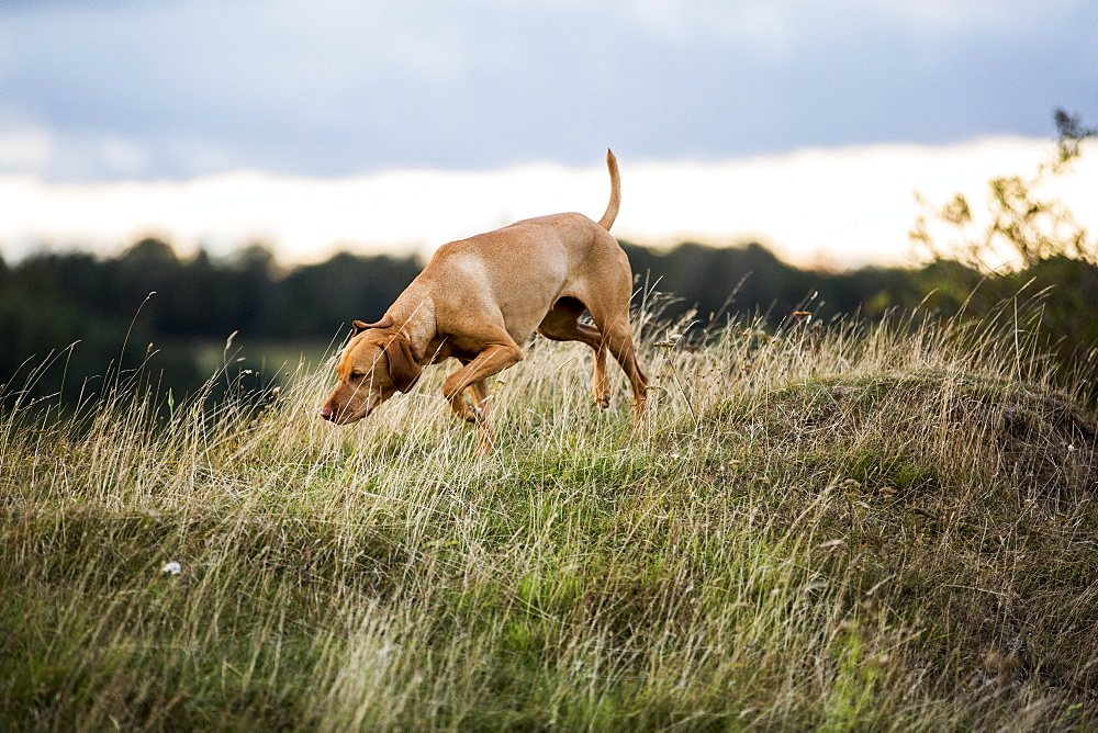 Vizla dog walking on a meadow, sniffing ground - 1174-7167