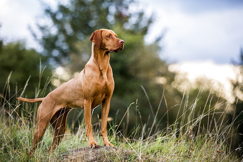 Portrait of Vizla dog standing on a meadow
