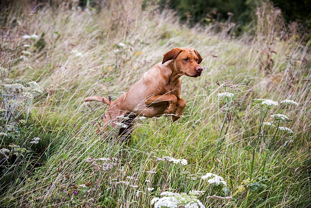 Portrait of Vizla dog running across a meadow