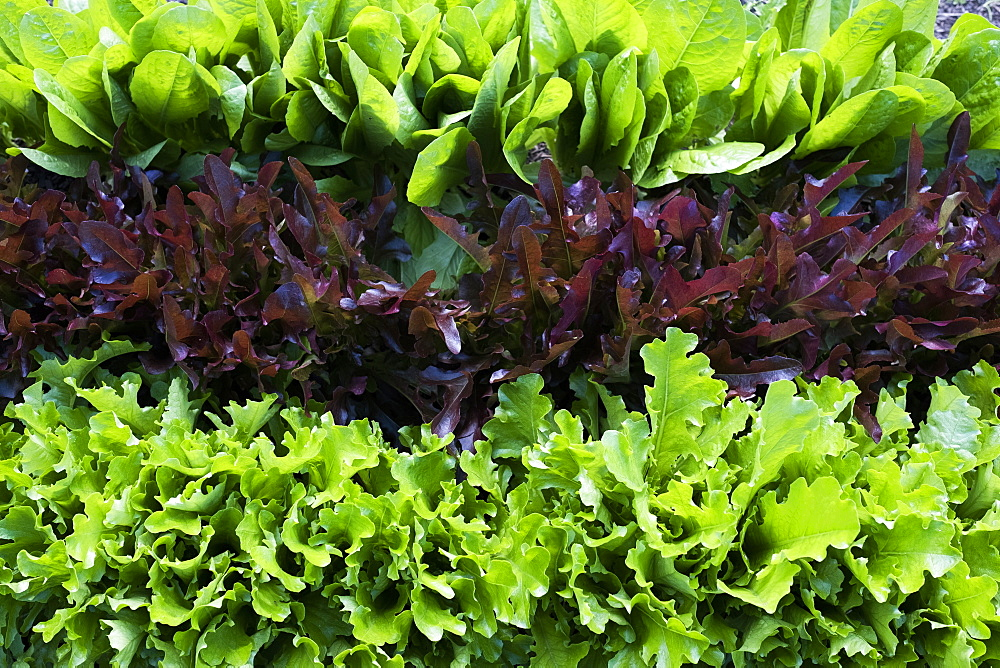High angle close up of rows of different varieties of green and red lettuce - 1174-7199