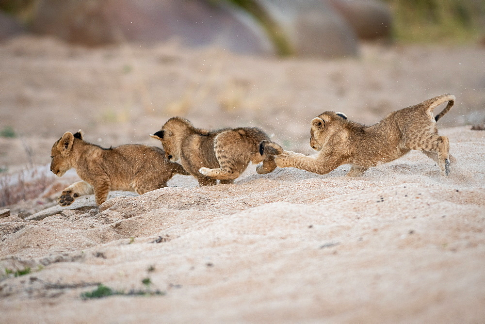 Three lion cubs, Panthera leo, play and chase each other in sand, Londolozi Game Reserve, Sabi Sands, Greater Kruger National Park, South Africa