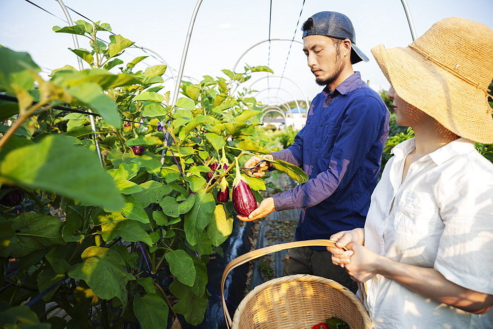 Japanese man wearing cap and woman wearing hat standing in vegetable field, picking fresh aubergines, Kyushu, Japan