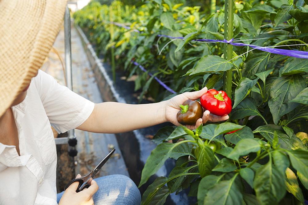 Japanese woman wearing hat standing in vegetable field, picking fresh peppers, Kyushu, Japan