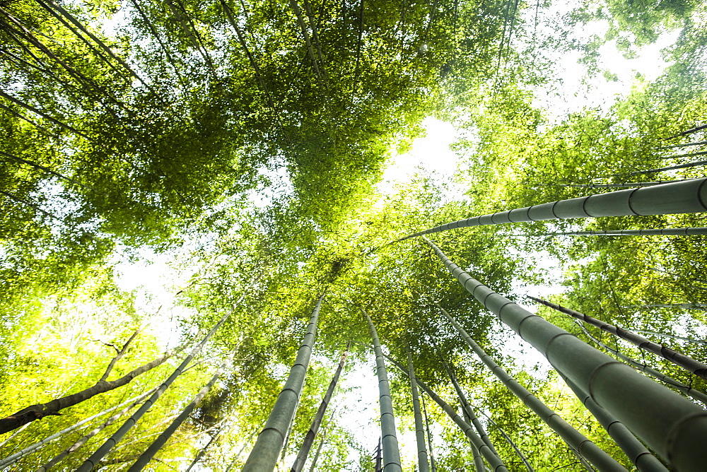 Low angle view of a bamboo forests with lush green canopy, Japan