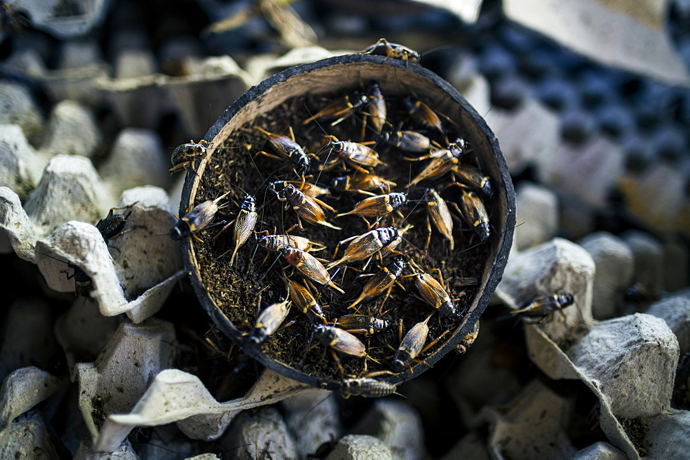 High angle close up of crickets being bred inside of a coconut shell, Thailand