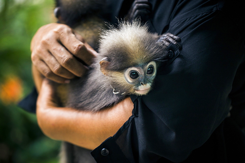 Close up of woman holding two young Macaque monkeys, Thailand
