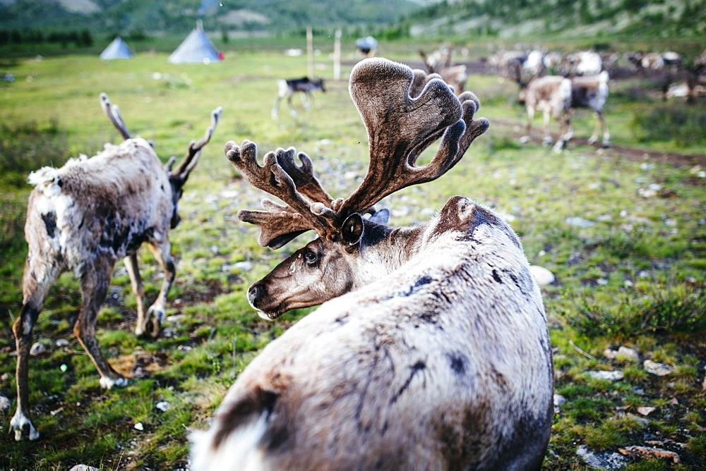 High angle close up of domesticated reindeer grazing near a small rural settlement, Mongolia