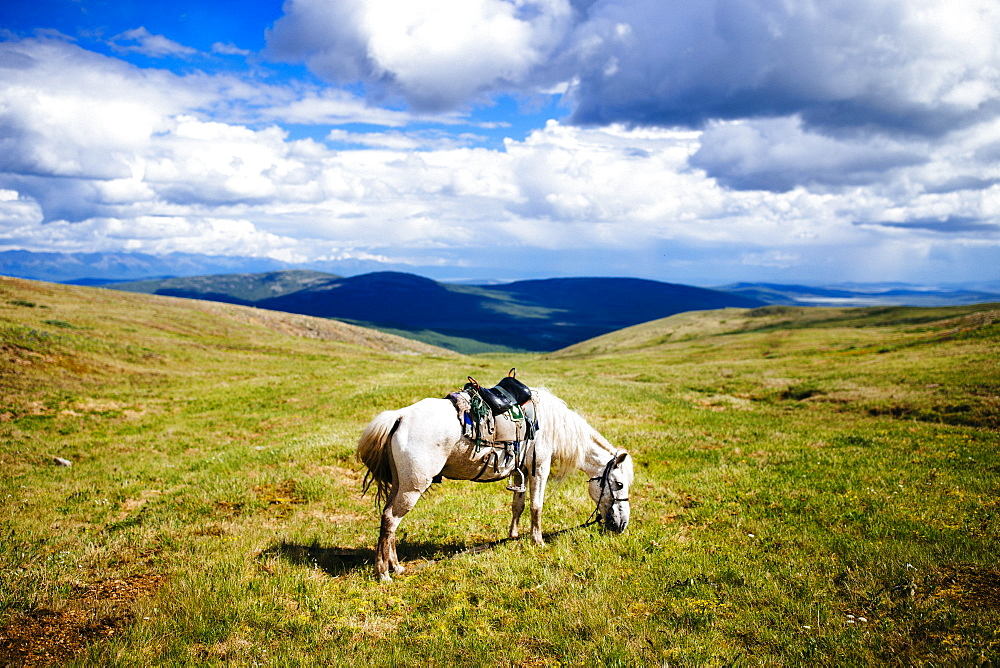 White saddled horse grazing on rolling plains and hilltops, Mongolia