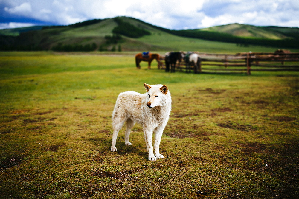 White guard dog standing on an open plains, small paddock with horses and hills in background, Mongolia
