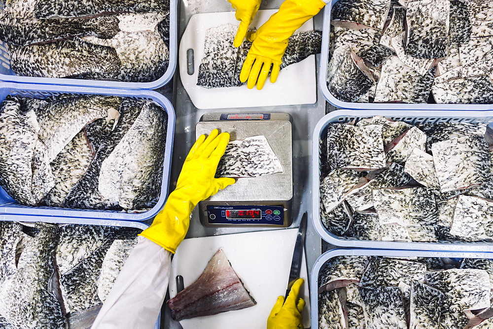 High angle close up of portions of Barramundi ready for packaging, Vietnam