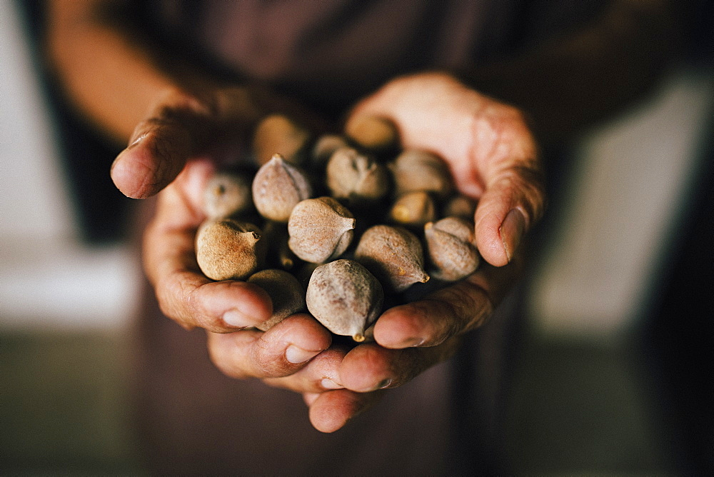 High angle close up of hands holding bunch of brown round nuts, Thailand