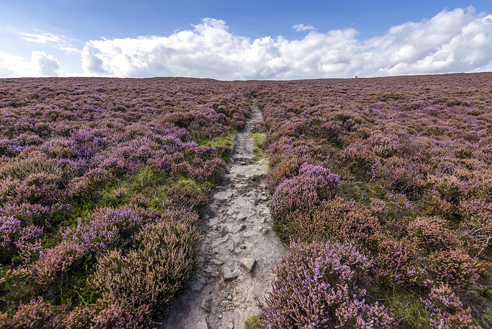 A footpath across the high moors of the Peak District National Park. Purple flowering heather, United Kingdom