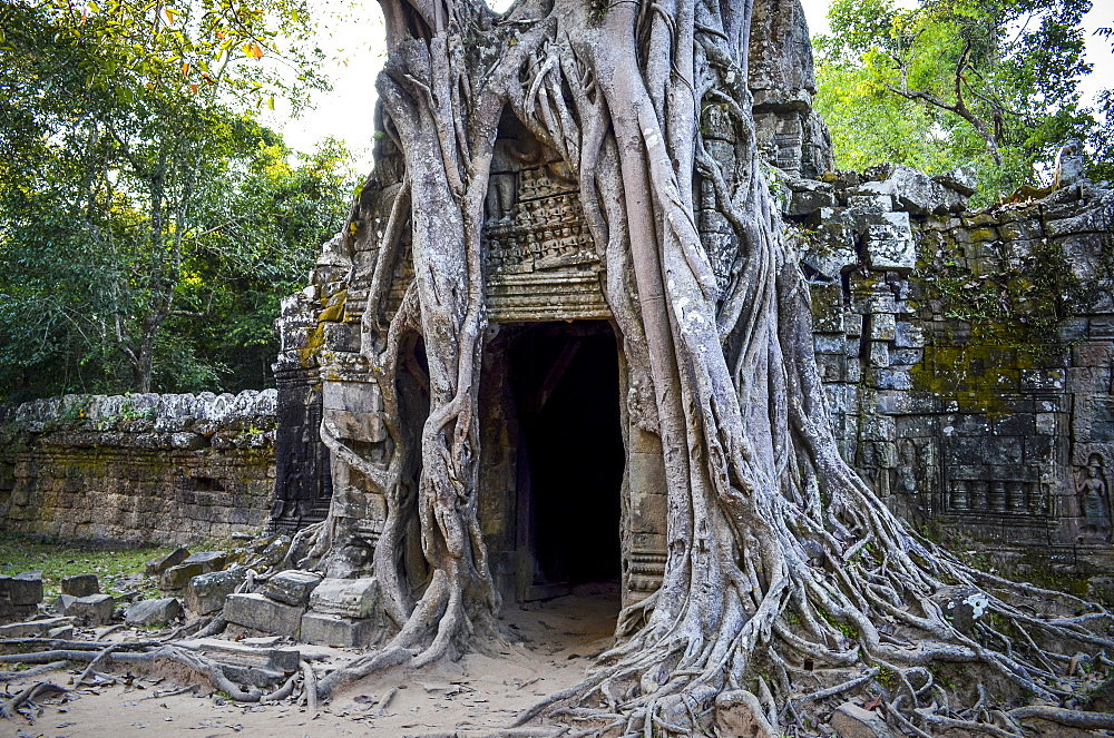Ankor Wat, a 12th century historic Khmer temple and UNESCO world heritage site. Arches and carved stone with large roots spreading across the stonework, Angkor Wat, Cambodia