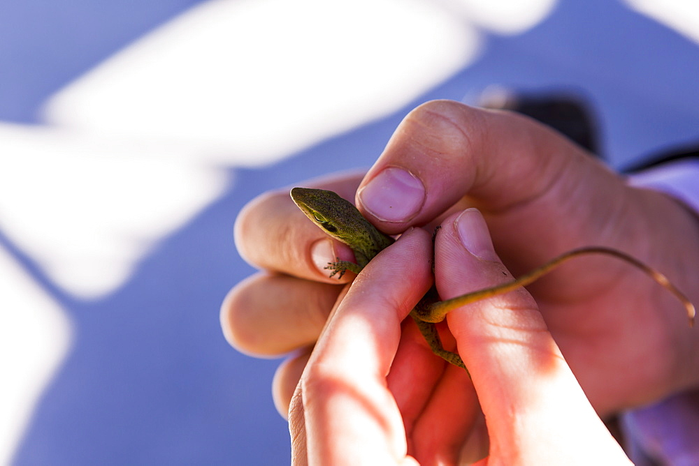 A child's hands holding a small green lizard, St Simon's Island, Georgia, United States