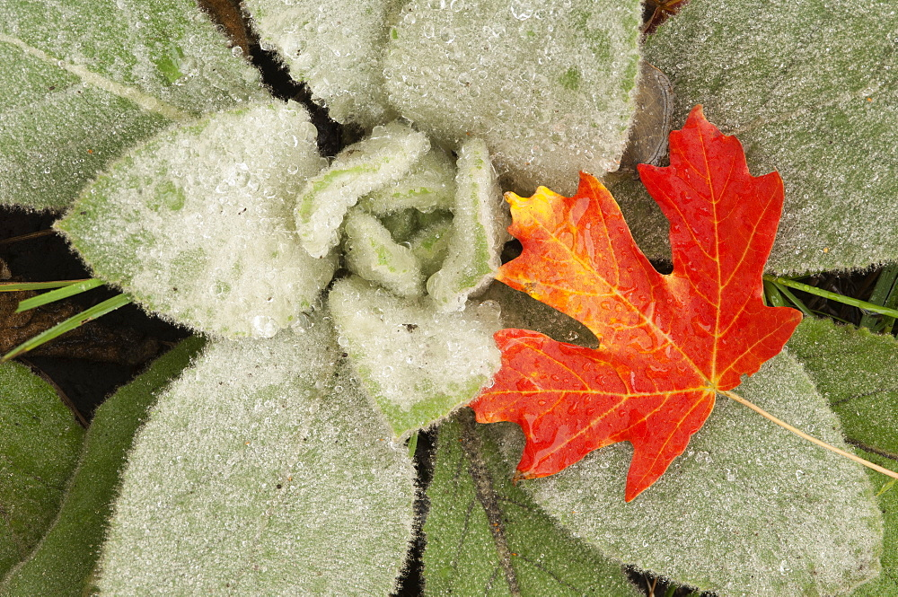 A maple leaf in autumnal colour, resting on the leaves of lamb's ears, Wasatch Mountains, Utah, USA