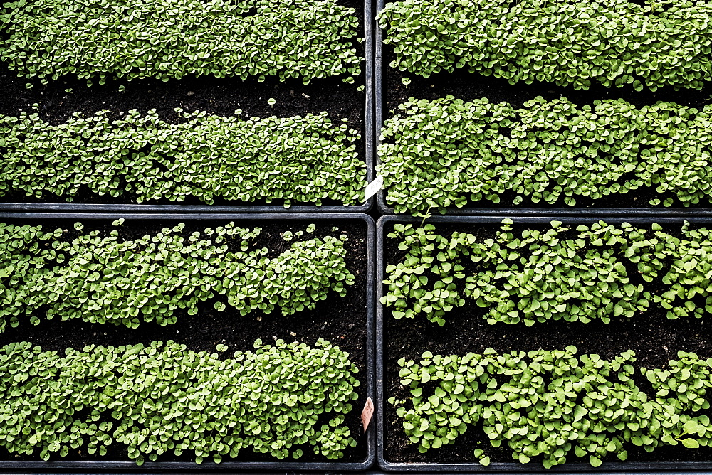 High angle close up of crates with a selection of freshly planted seedlings, Oxfordshire, United Kingdom - 1174-7843