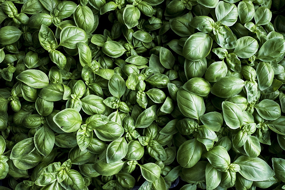 High angle close up of fresh green basil, Oxfordshire, United Kingdom