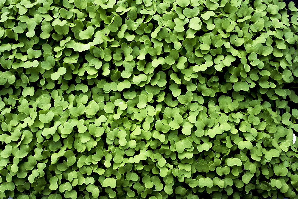 High angle close up of fresh green garden cress, Oxfordshire, United Kingdom