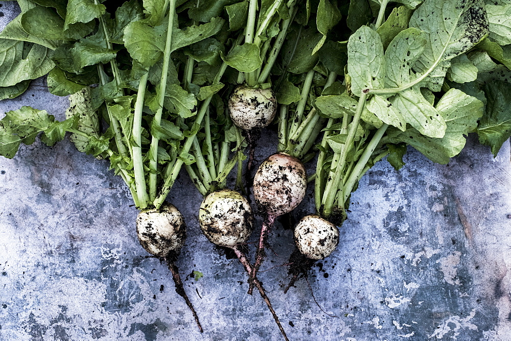 High angle close up of a bunch of freshly picked turnips on grey background, Oxfordshire, United Kingdom