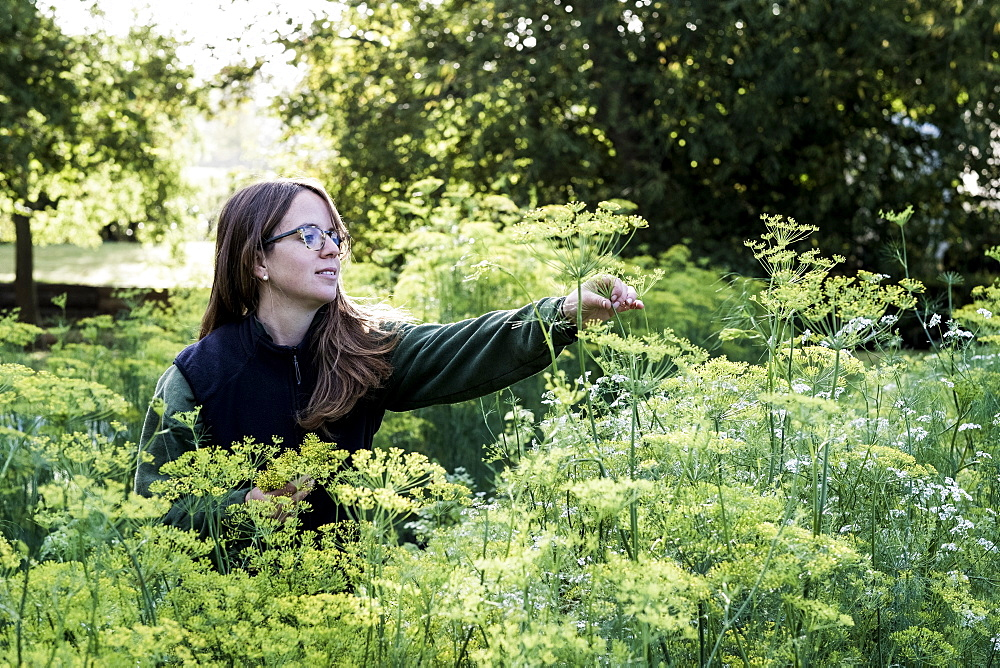 Female gardener standing in a vegetable bed in a garden, inspecting dill plants, Oxfordshire, United Kingdom