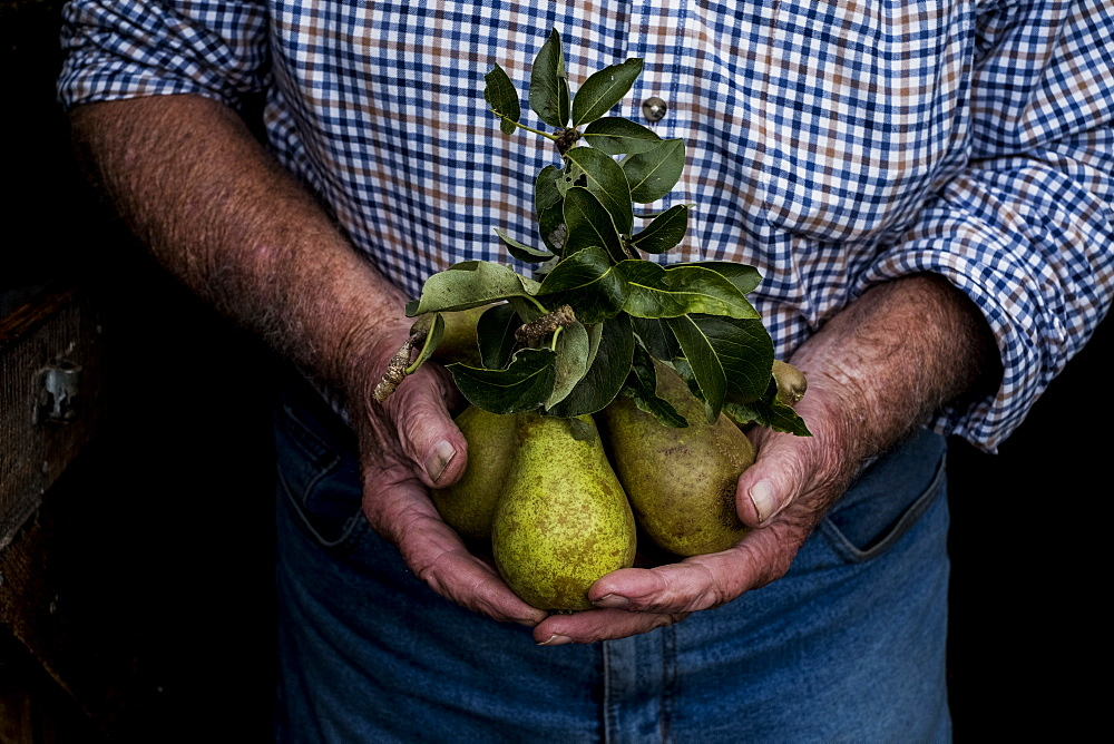 Close up of man holding bunch of green pears, Cornwall, United Kingdom