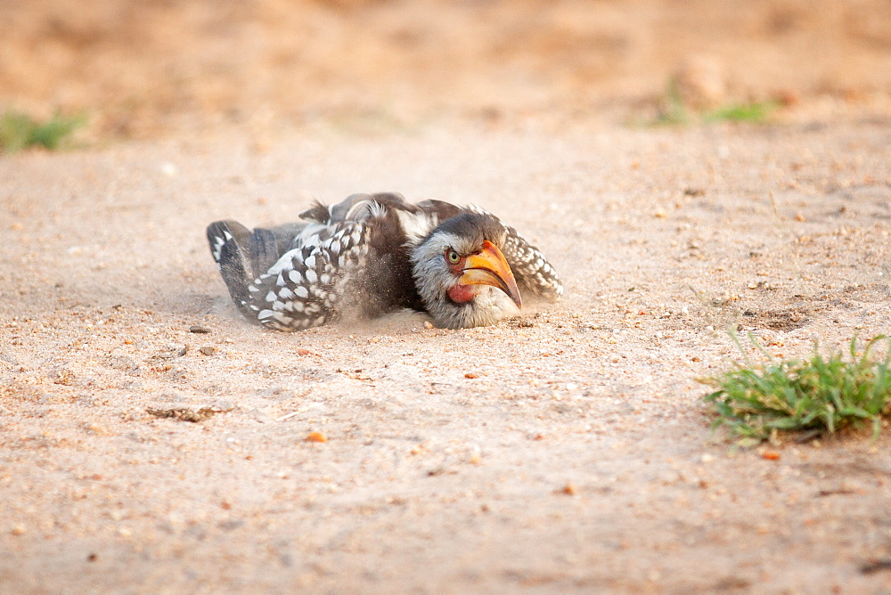 A yellow-billed hornbill, Tockus flavirostris, takes a sand or dust bath, lying on the ground, Sabi Sands, Greater Kruger National Park, South Africa
