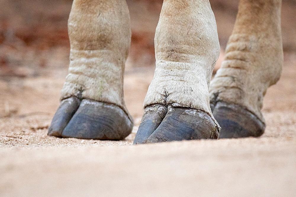 The hooves of a giraffe, Giraffa camelopardalis giraffa, standing on sandy ground, Sabi Sands, Greater Kruger National Park, South Africa