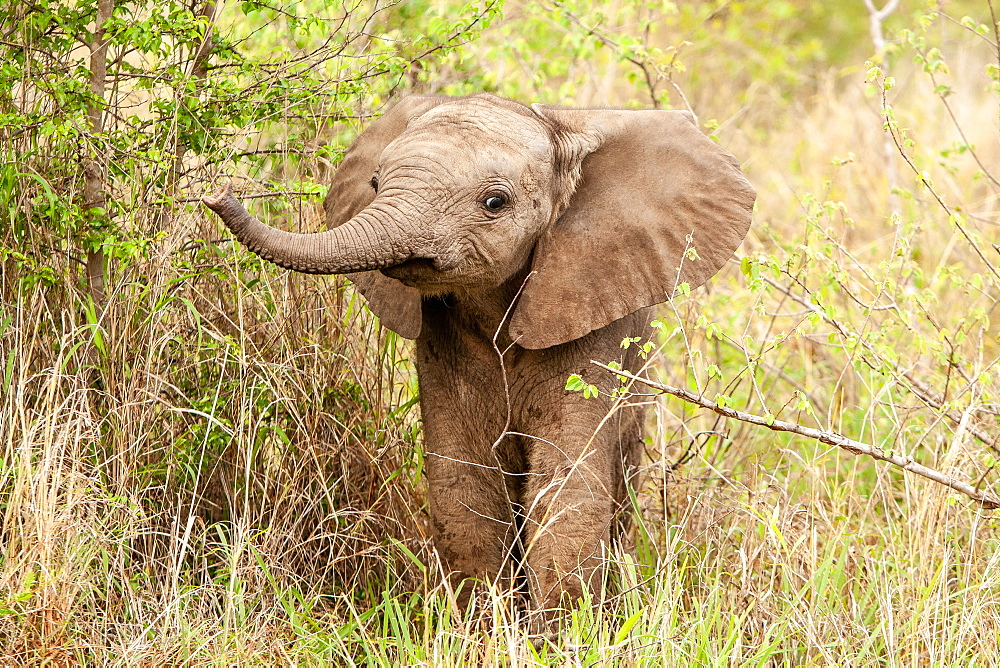An elephant calf, Loxodonta africana, lifts its trunk while standing in greenery, Sabi Sands, Greater Kruger National Park, South Africa