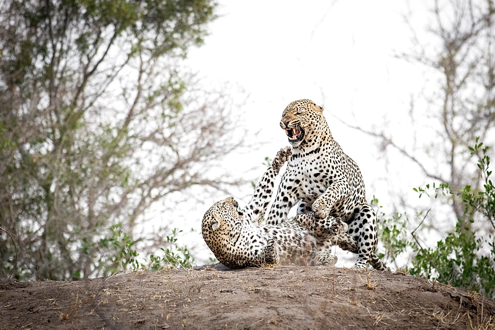 A mating pair of leopards, Panthera padrus, snarl at each other, Sabi Sands, Greater Kruger National Park, South Africa