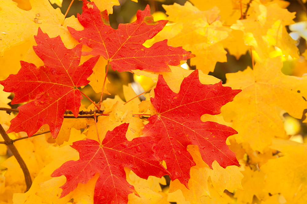 Vivid coloured maple leaves in autumn, Wasatch Mountains, Utah, USA