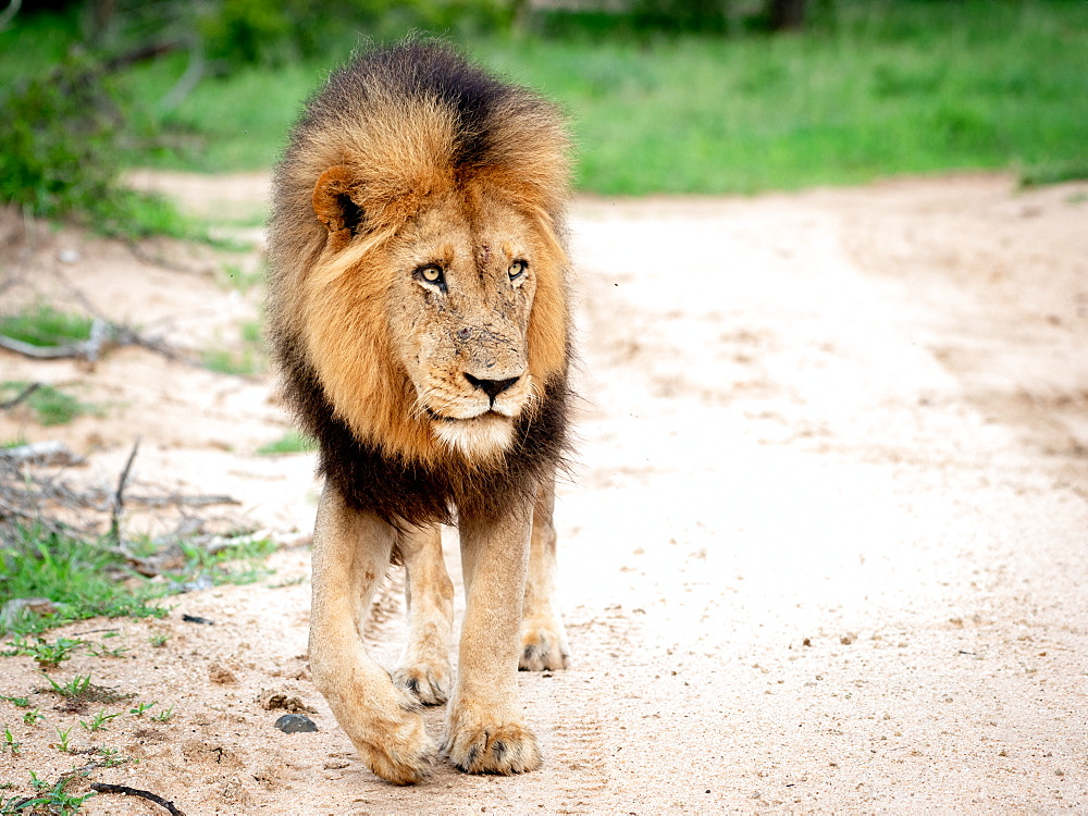 A male lion, Panthera leo, walks towards camera, looking out of frame, big mane, Londolozi Game Reserve, Sabi Sands, South Africa