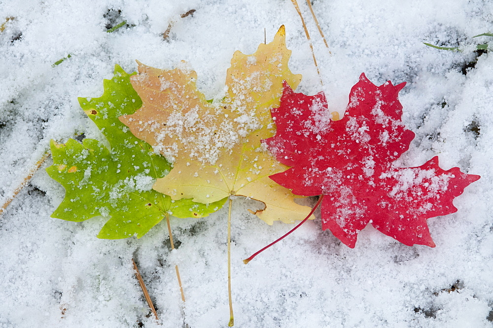 Vivid coloured maple leaves lying on snow, Wasatch Mountains, Utah, USA