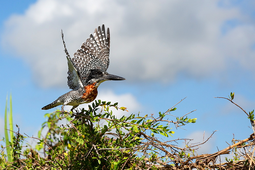 A giant kingfisher, Megaceryle maxima, takes off into flight from a bush, wings spread, Londolozi Game Reserve, Sabi Sands, South Africa