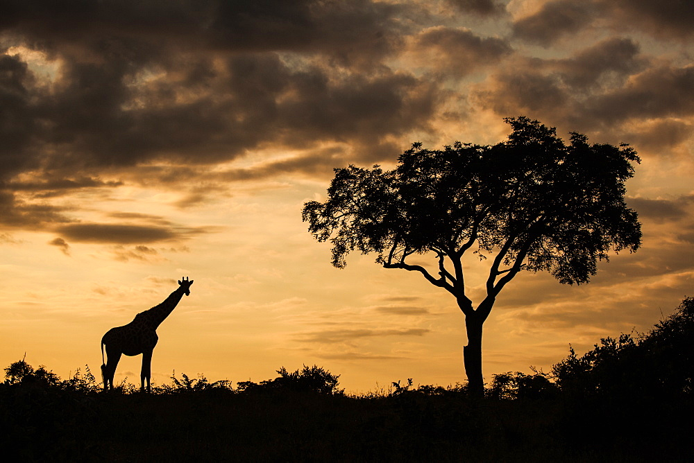 A silhouette of a giraffe, Giraffa camelopardalis giraffa, by a single tree against an orange sunset, Londolozi Game Reserve, Sabi Sands, South Africa