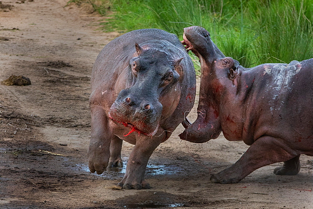 Two hippos, Hippopotamus amphibius, fight each other on land, one with his jaws wide open, the other with bloodied mouth and flanks, Londolozi Game Reserve, Sabi Sands, South Africa