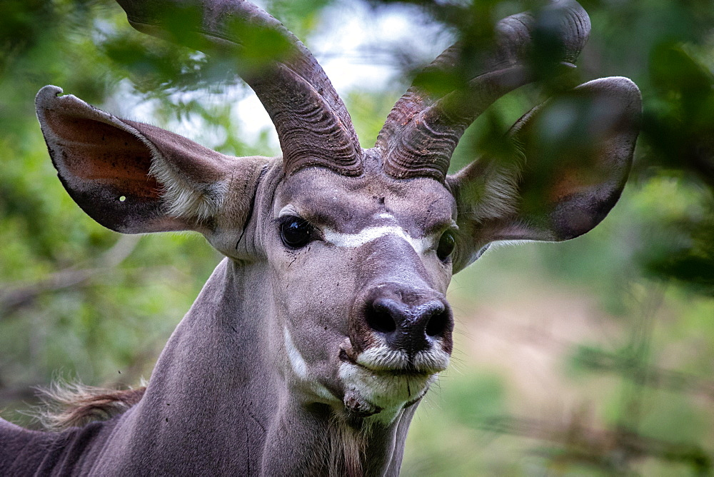 The head of a kudu, Tragelaphus strepsiceros, direct gaze, ears forward, Londolozi Game Reserve, Sabi Sands, South Africa