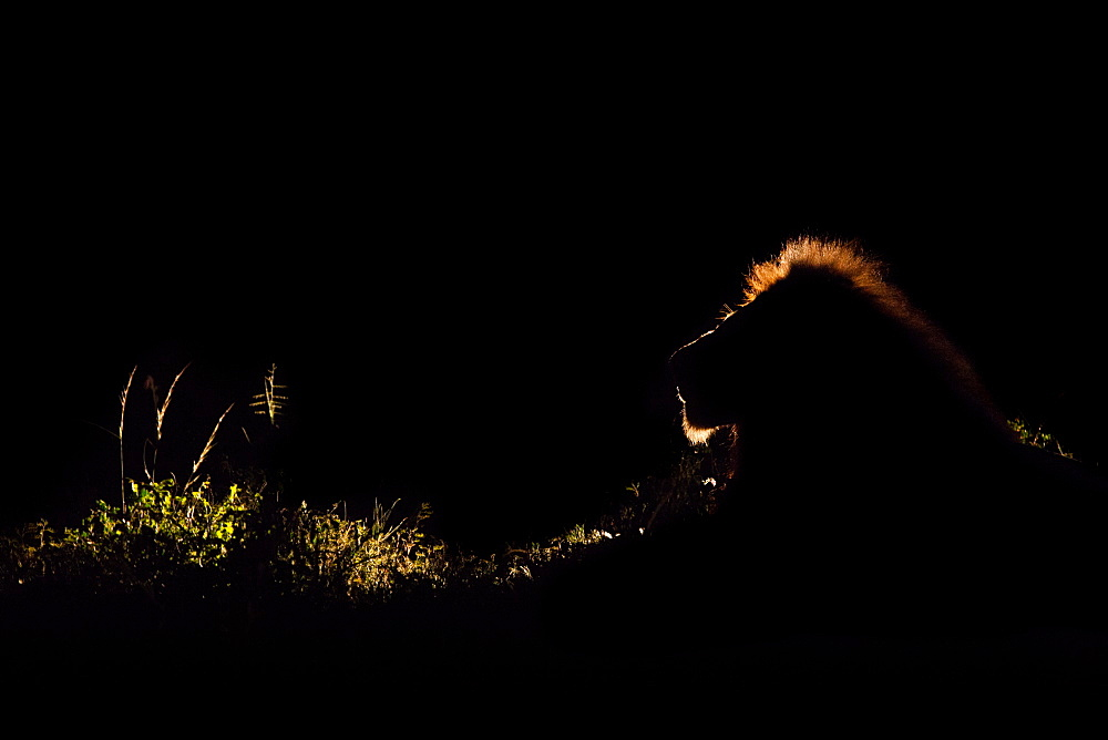 A lion, Panthera leo, backlit in the dark with a spotlight, lit up mane, Londolozi Game Reserve, Sabi Sands, South Africa