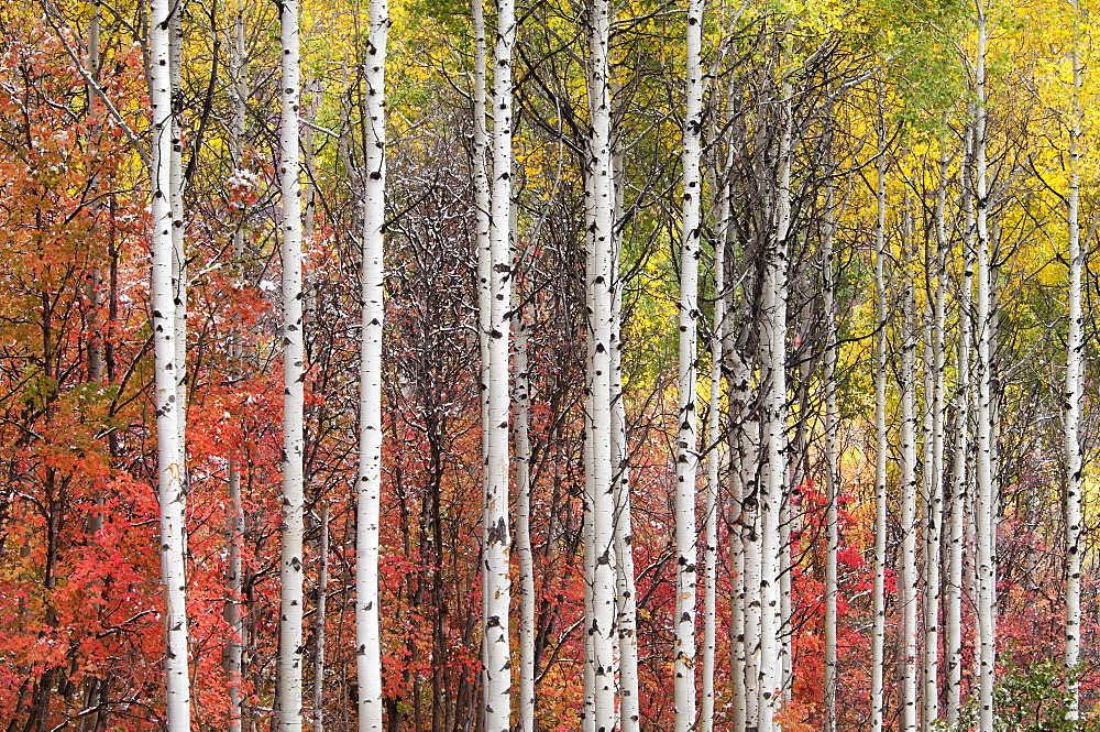 Aspen and maple trees in the fall, Wasatch Mountains, Utah, USA